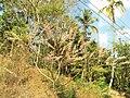 ARBOL DE MADRECACAO, EN FLOR. CANTON LA LIMA, HUIZUCAR - panoramio.jpg