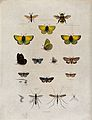 A bee, five butterflies (including a pale clouded yellow), s Wellcome V0022527.jpg