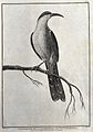 A bird of paradise from Northern California. Engraving with Wellcome V0022120ER.jpg