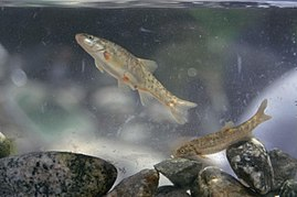 A close view of two santa ana speckled dace fishes rhinichthys osculus.jpg
