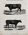 A cow and bull of the Devon middle-horned breed. Etching, ca Wellcome V0021712ER.jpg