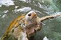 A domestic Sea turtle at Ogasawara Islands.jpg