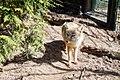 A fox in Landgoed Hoenderdaell, Anna Paulowna, The Netherlands.jpg