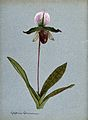 A lady's slipper orchid (Cypripedium Eyermanianum); flowerin Wellcome V0043281.jpg