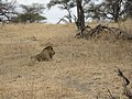 A lion and a lioness in Akagera National Park.jpg
