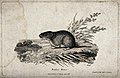 A meadow-mouse is sitting on a patch of grass on a small hil Wellcome V0020712.jpg