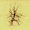 A spiny stellate neuron.png