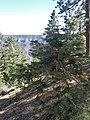 Abies concolor subsp. concolor kz02.jpg