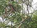 Acacia Koa trees.jpg