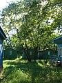 Acacia in bloom at neglected camp site - panoramio.jpg