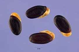 Acacia longifolia seeds.jpg
