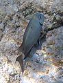 Acanthurus bahianus (ocean surgeonfish) (San Salvador Island, Bahamas) 3 (16150206782).jpg