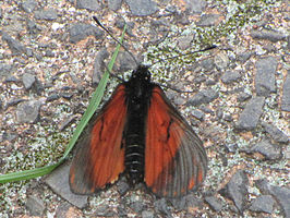 Acara Acraea, South Africa 1.jpg
