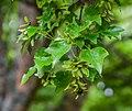 Acer buergerianum ssp. ningpoense in Hackfalls Arboretum (2).jpg