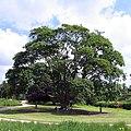 Acer cappadocicum Trentham.jpg