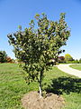 Acer ginnala - University of Kentucky Arboretum - DSC09318.JPG