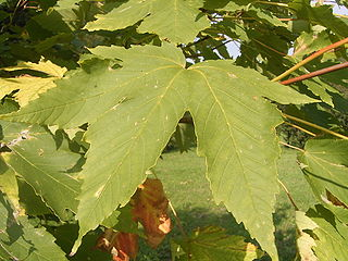 <i>Acer heldreichii</i> species of plant in the family Sapindaceae