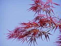 Acer japonicum rubra leaves.jpg