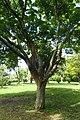 Acer palmatum kz2.jpg
