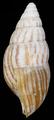 Achatina vassei shell 2.png