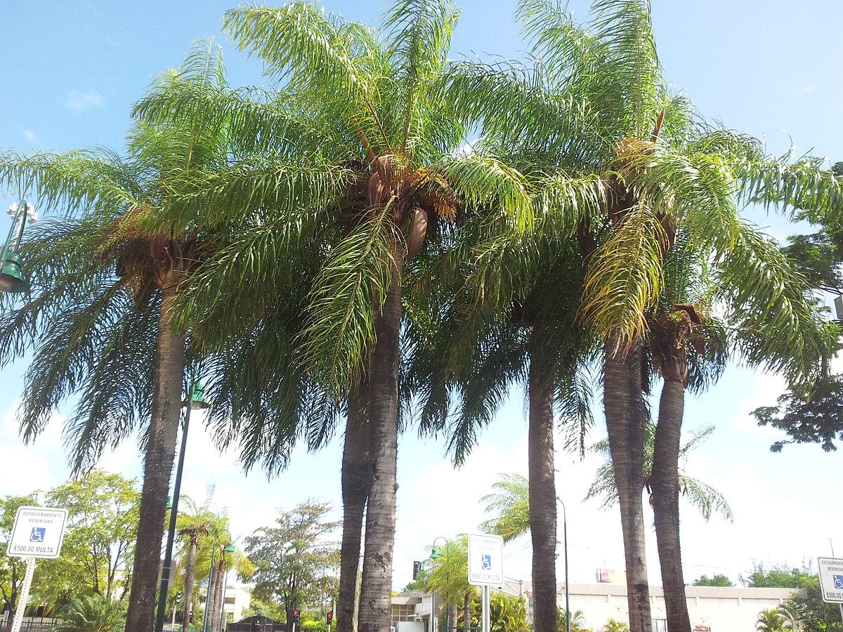 разновидность пальмы картинки этой способности основана