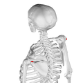 Acromial angle of scapula05.png