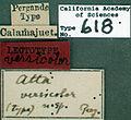 Acromyrmex versicolor castype00618 label 1.jpg