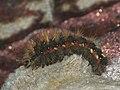Acronicta rumicis (larva) - Knot grass (caterpillar) - Стрельчатка щавелевая (гусеница) (40345367644).jpg