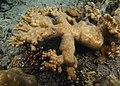 Acropora abrotanoides Réunion 2.jpg