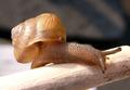 Acusta despecta sieboldiana.png