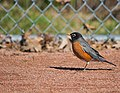 Admirably, A Robin (50434103817).jpg
