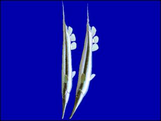 Shrimpfish Subfamily of fishes