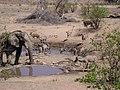 African Elephant (Loxodonta africana) (8604287130).jpg