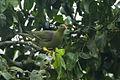 African Green Pigeon - Kakum NP - Ghana 14 S4E2321 (16196983741).jpg