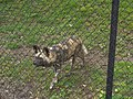 African Painted Dog at the Springfield Illinois Zoo.JPG