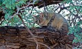 African Wild Cat (Felis lybica) (6549450873).jpg