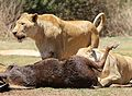 African lion, Panthera leo feeding at Krugersdorp Game Park, South Africa (29444092403).jpg