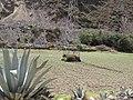 Agave - Machu Picchu and Sacred Valley Peru (4876186406).jpg