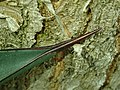 Agave aff. tequilana 2019-12-13 6475.jpg