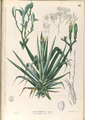 Agave sp Blanco1.96-original.png