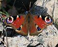 Aglais (Inachis) io - European Peacock - Flickr - S. Rae (2).jpg