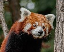 Ailurus fulgens - Karlsruhe Zoo 01.jpg