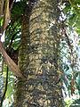 Aiphanes acanthophylla-Arecaceae-Jardin botanique de Kandy (2).jpg