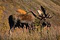 Alaska moose.jpg