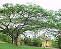 Albizia adiantifolia 12102003 Afrique du sud.JPG