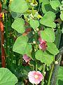 Alcea rosea (372259905).jpg