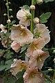 Alcea rosea D.jpg