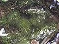 Algae (Glony w stawie ogrodowym).JPG