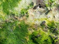 Algal mat in Marine Park (90933).jpg