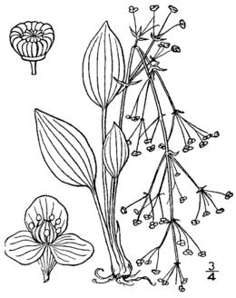 Alisma subcordatum drawing